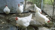 White-Chickens-Coop-Farm